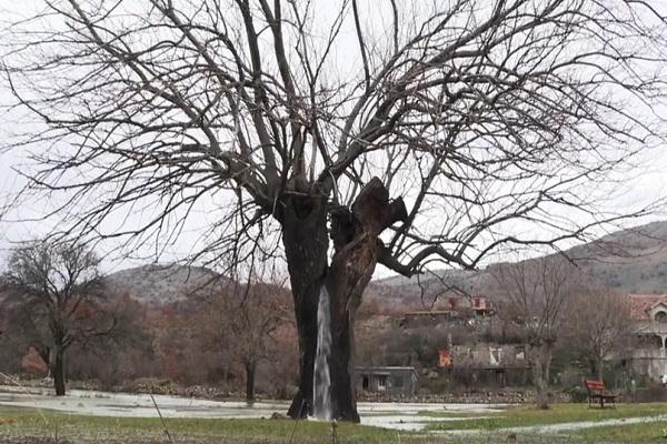 Мистериозно дрво во Црна Гора ја крие најубавата тајна на природата