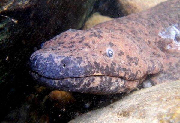 Научниците го откриле најголемиот жив водоземец во музеј