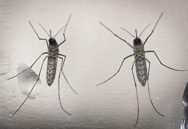 Поради климатските промени, се шири опасна болест што ја пренесуваат комарците