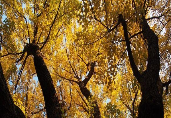 Ова дрво е речиси бесмртно - не може да умре од старост