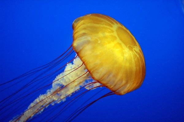 Создадени киборг-медузи што пливаат трипати побрзо