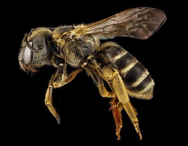 Запознајте ја пчелата која е и машка и женска единка