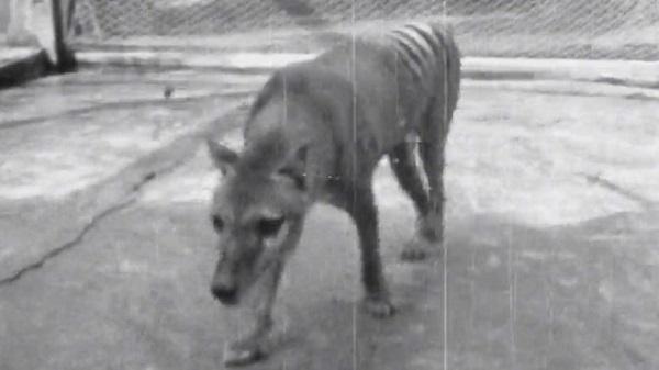 Објавено видео од последниот тасмански волк