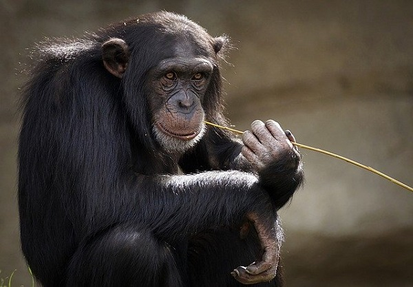 Шимпанзата помагаат да се открие многу за еволуцијата на говорот