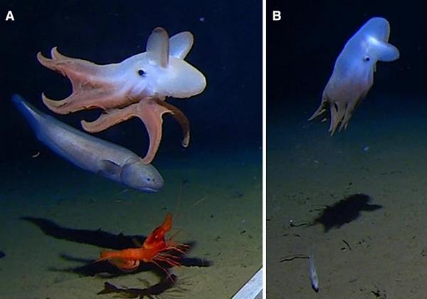 Снимен октопод на најголемата длабочина досега