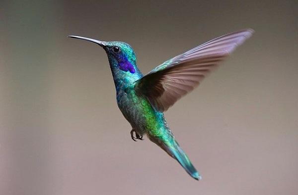 Колибрито може да гледа бои кои човекот не може ни да ги замисли