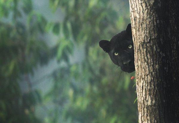 Фотограф успеа да слика редок црн пантер во џунглите на Индија