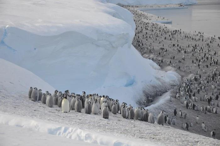 Сателити открија скриени колонии на царски пингвини за кои не знаевме дека постојат