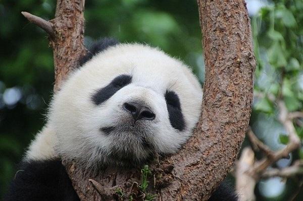 Зачувувањето на пандите има и негативна страна - исчезнуваат леопардите и волците