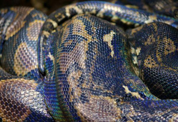 Најстарата змија во светот се размножи без помош од мажјак