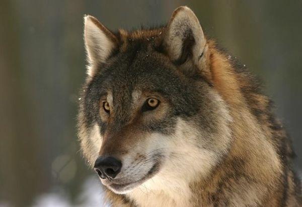 Како волкот станал куче?
