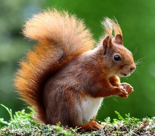 Вервериците случајно садат милиони дрвја годишно