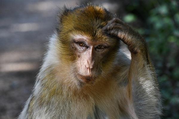 Мајмуните на Бали може да ја препознаат вредноста на предметите што ги крадат