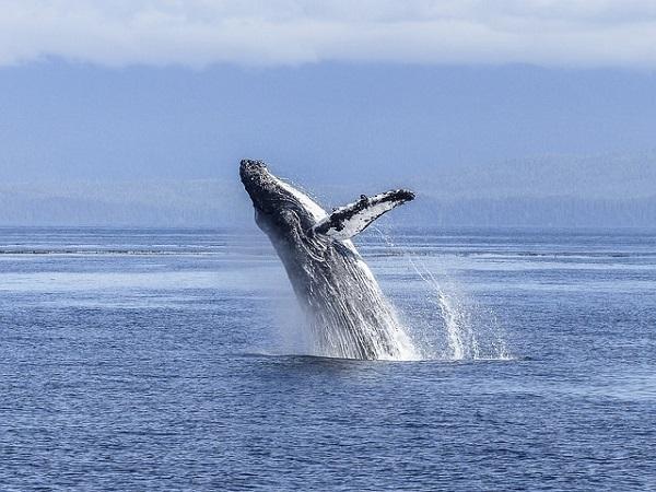 Истражување открива зошто китовите поретко заболуваат од рак