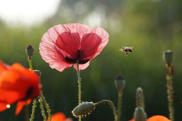Зошто пчелите зјапаат во цвеќињата откако ќе ги опрашат?