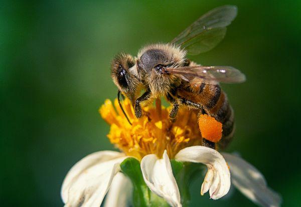 """Холандски научници тренираат пчели за да го """"намирисаат"""" коронавирусот"""
