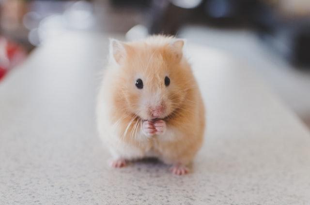 Научници им ја вратиле загубената меморија на глувци поврзана со стареењето