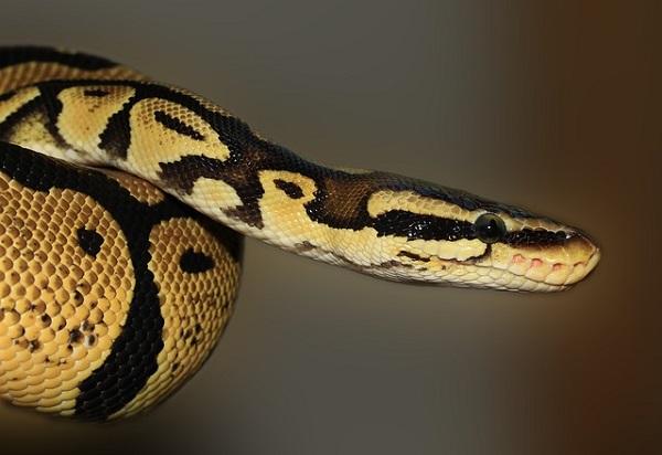 Научници ја мерат радиоактивноста во Фукушима со помош на змии
