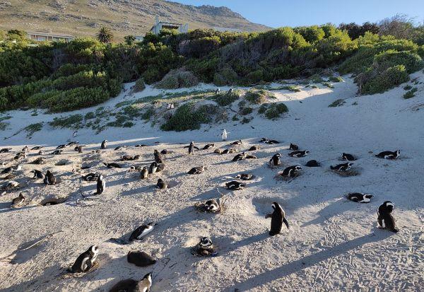 Пчели убиле загрозен вид пингвини во Јужна Африка